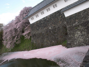 Sakura20133